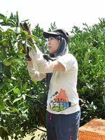 大規模なミカン畑で極早生種の収穫を体験する大学生=藤津郡太良町