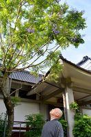 五分咲きのジャカランダ=伊万里市の本光寺