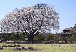 倒れる前の「左近の桜」=2014年4月、水戸市(茨城県提供)