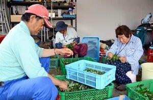 収穫したドクダミを葉と茎にちぎって分ける松本スミ子さん(右)ら=玄海町の町薬用植物栽培研究所