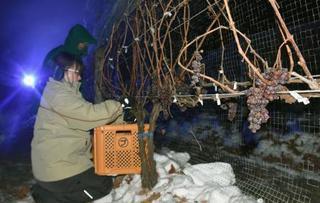白い息吐きブドウ摘み、北海道