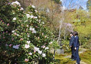 早咲きのシャクナゲが見ごろになっている高野寺。奥にはピンクのしだれ桜も=武雄市北方町