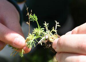 抜き取られたメリケントキンソウ。6月にかけてとげのある種を実らせる