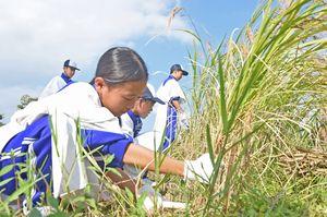 懸命に赤米の稲を刈り取る生徒たち=吉野ケ里歴史公園