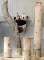 木に登るシャンシャン=19日、東京・上野動物園(東京動物園協会提供)