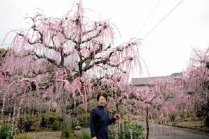 美しいピンク色の花を付けた有須田房枝さん宅のしだれ梅=17日、唐津市浜玉町横田上