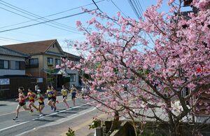 庭先を彩る河津桜の脇を集団で駆け抜ける県内一周駅伝の選手たち=伊万里市内