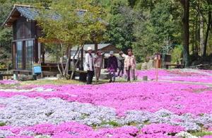 色とりどりのシバザクラが敷地を埋めるように咲く川原さんの「志田フラワー園」=嬉野市塩田町久間