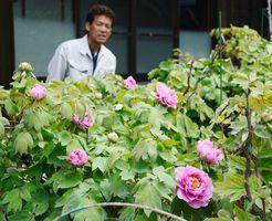 つぼみを膨らませる切木ボタン。中には花をさかせたものもある=唐津市肥前町の出さん宅