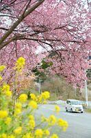 菜の花と競演し里山の風景を彩るオカメザクラ=唐津市七山地区