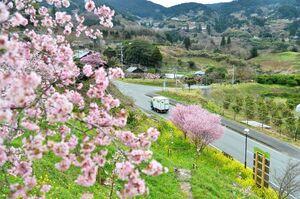 濃いピンクの花で里山の景色を彩るオカメザクラ=唐津市七山