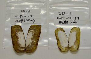 ゲノムの集団解析に使ったアゲマキの貝殻