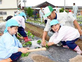 高志館高校の生徒に教わりながら、サツマイモの苗を植える春日保育園の園児たち=高志館高校の農園