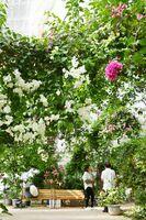 白やピンクのブーゲンビリアが咲く「ブーゲンハウス嬉野」=嬉野市嬉野町