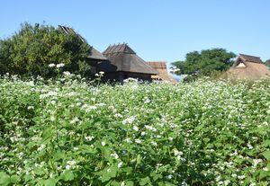 見ごろを迎えているソバの花。竪穴住居をバックに、弥生の風に吹かれている=吉野ケ里歴史公園