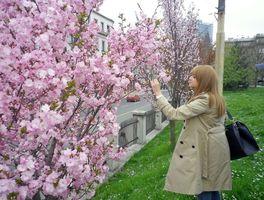 イピル・イピルの会が植えた桜が咲き誇るハスタハナ公園=2018年4月、サラエボ市内