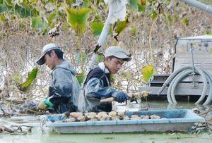 諸石洋平さん(左)と一緒にレンコンを収穫するウティス・トリスワントさん=杵島郡白石町