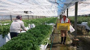 ビニールハウスで栽培される「天山草」