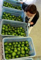 農家から持ち込まれた国産レモン=多久市北多久町のJAさが広域多久ミカン選果場