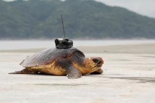 三陸沖のウミガメ「寒冷地仕様」