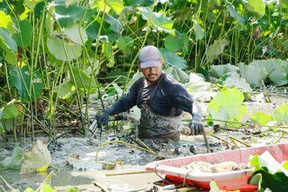 盆用レンコン収穫大忙し 白石町
