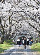 桜のトンネル続く参道 武雄・円応寺