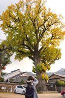 有田の大イチョウ 樹齢千年黄金色に輝く