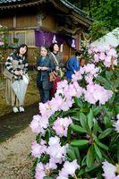 丹後しゃくなげ祭りで見頃を迎えた花をめでる来訪者=有田町の山田神社