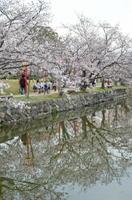花曇り・小城公園の桜