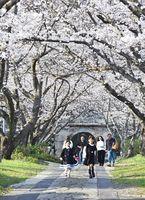 参道沿いに満開となったソメイヨシノ。まるで桜のトンネルのように、訪れた人を出迎える=武雄町富岡の円応寺(撮影・鶴澤弘樹)