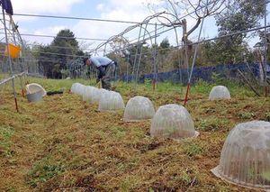 ズッキーニの定植。朝夕は冷え込む日もあるので、少しの間ドームをかぶせて保温します