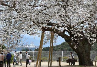 大樹咲き誇る 唐津市の衣干百年桜
