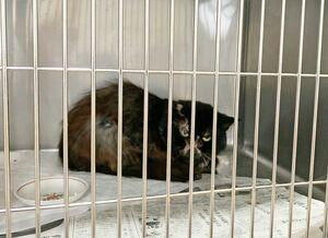 人為的に針金を巻かれ、左後ろ脚の切断手術を余儀なくされた猫。動物病院に入院している