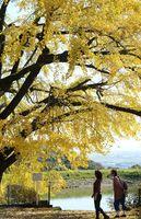 日の光を浴びて、きらきらと輝く大イチョウ=江北町の白木聖廟