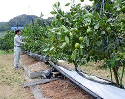 温州ミカンの埋め込み式根域制限栽培を研究
