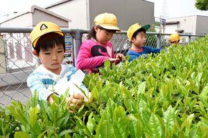 茶葉を真剣な表情で摘み取る児童=鳥栖市曽根崎町の基里小