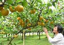 ナシやブドウ、今年も甘いよ!伊万里の観光農園オープン