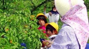 ほんのり色づいた梅のみをちぎっていく子どもたち=伊万里市の藤ノ尾梅林