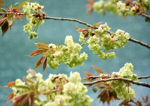 横竹ダム周辺に咲いている御衣黄桜=嬉野市嬉野町吉田