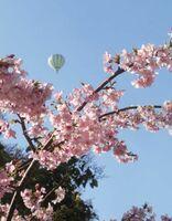 西与賀校区で「河津桜を観よう会」