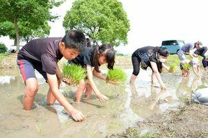 はだしで田んぼに入り、もち米の苗を植える参加者=佐賀市兵庫町のひょうたん島公園