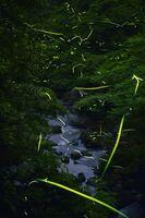 明滅しながら飛び交うゲンジボタルの光跡=3日夜、嬉野市の岩屋川内ダム上流(15秒間露光で撮影した6枚を重ね合わせた)