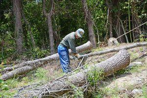 原木シイタケ栽培のため、伐倒作業に取り組む障害者の男性=唐津市相知町