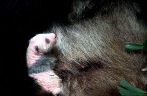 生後2週間が過ぎたジャイアントパンダの雌の赤ちゃん。母の胸で眠っている(東京動物園協会提供)