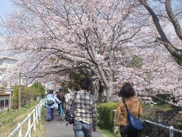 昨年の「のんびり桜ウォーク」で、桜並木の下を歩く参加者