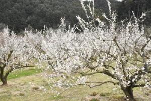 約6500本の梅が栽培されている伊万里梅園藤ノ尾=伊万里市木須町
