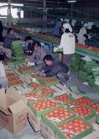 東京に初出荷されるサガマンダリン=昭和63年12月19日、鹿島市の県園芸連選果場