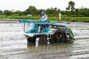 4年目となる「シギの恩返し米プロジェクト」で田植えをする内田武士会長=佐賀市東与賀町