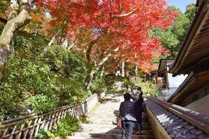赤く色付き、見頃を迎えたイロハモミジ。12月上旬まで楽しめる=基山町の大興善寺