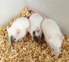 アマミトゲネズミから作ったiPS細胞が混ざったマウス(宮崎大の本多新研究員提供)